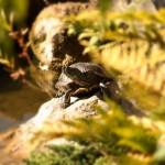 Schilkroete im Japanischen Garten